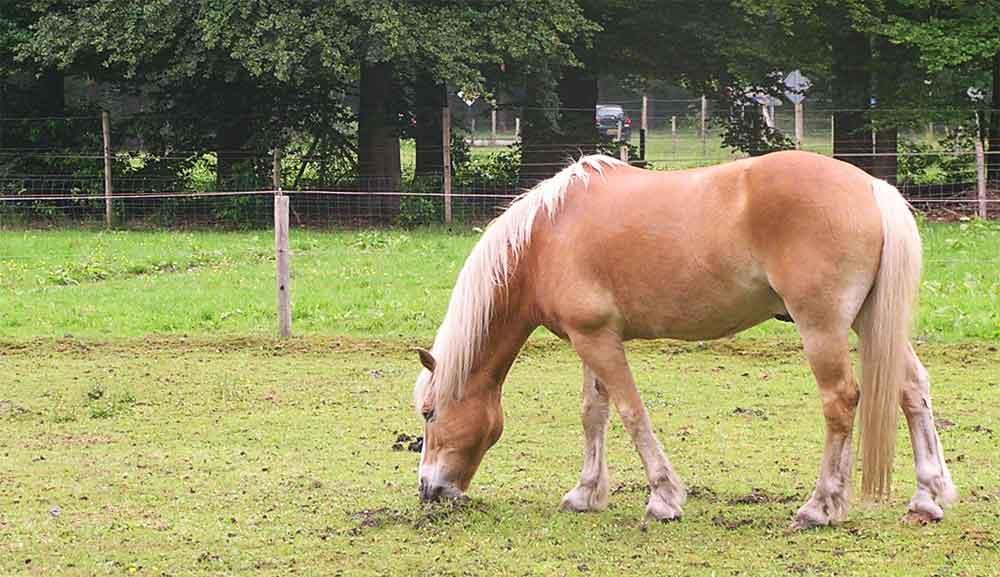 Zomereczeem bij paard en pony