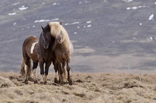 Sfeer foto IJslandse paarden